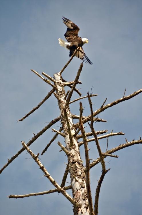 """""""Eagle Landing"""""""