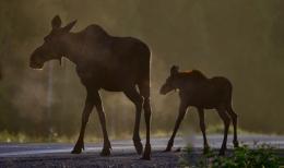 Image no. AK1101: Moose Crossing