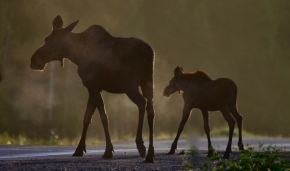 Image no. AK1101: Moose Crossing