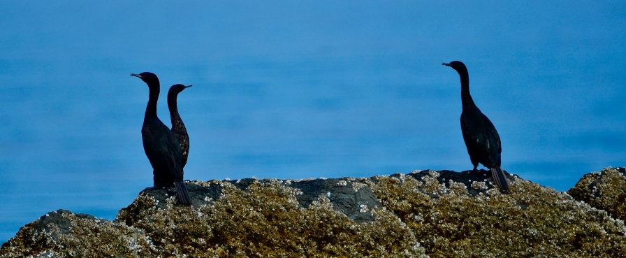 Image no. AK0501: Cormorants