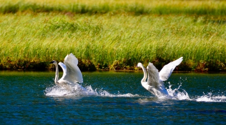 Image no. AK0601: Swans on the Run