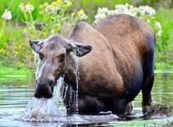 Image no. AK0701: Wet Moose